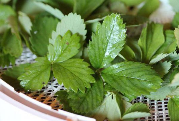 Свежие листки земляники
