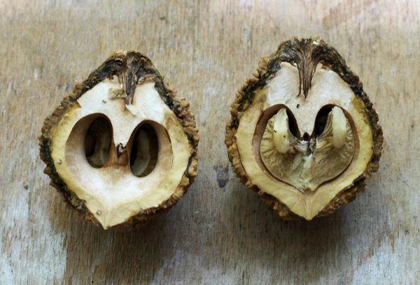 Ядро ореха