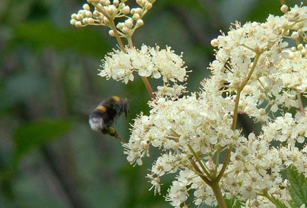 Пчела у цветка таволги