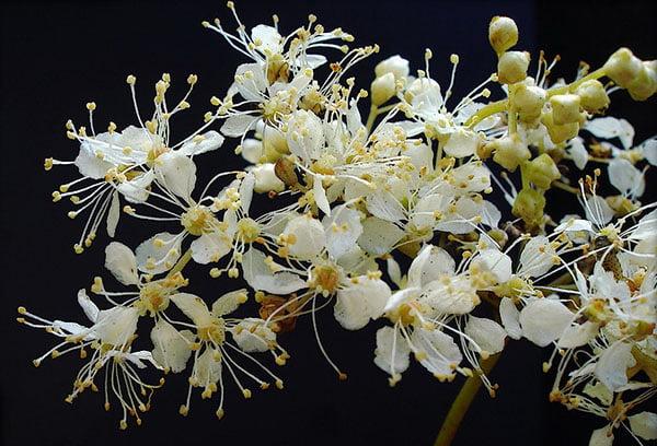 Цветки таволги