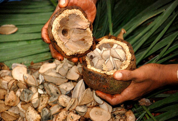 Добыча бразильских орехов