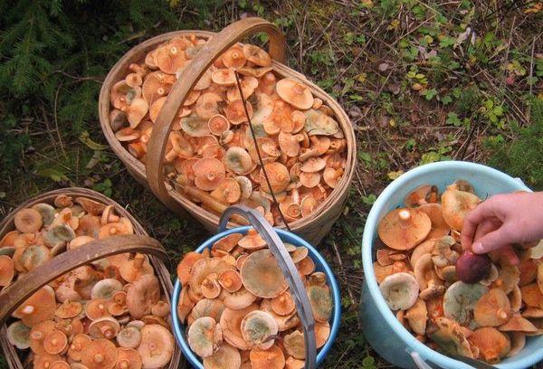 собранные грибы в корзинах
