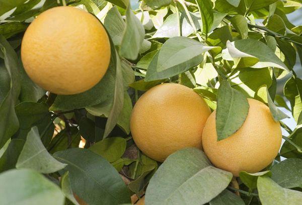дерево памело с плодами