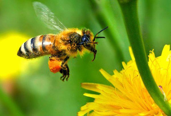 пчелка у цветка