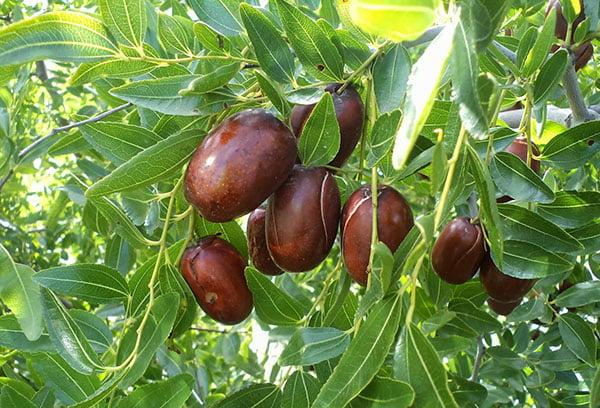 Плоды зизифуса на ветке