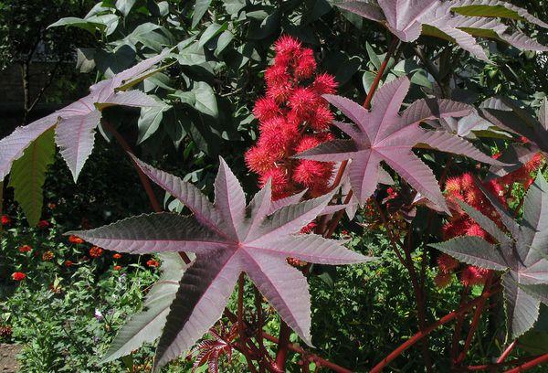 цветы клещевины обыкновенной