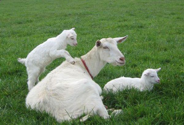 коза с козлятами в поле