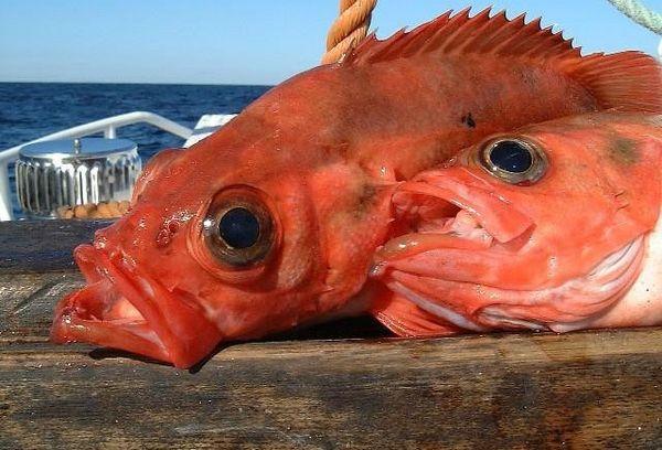 морская рыба Окунь