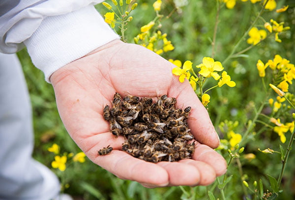 Горсть пчелиного подмора