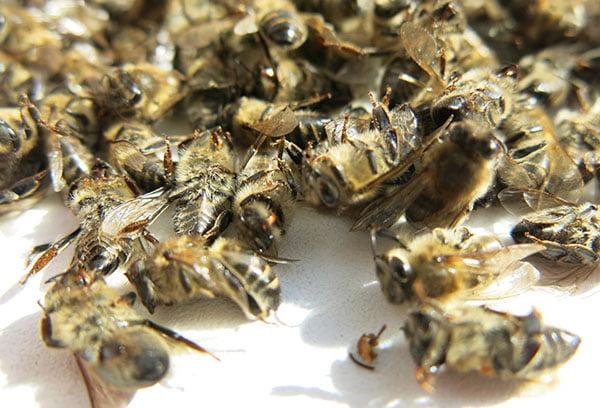 Мертвы пчелы