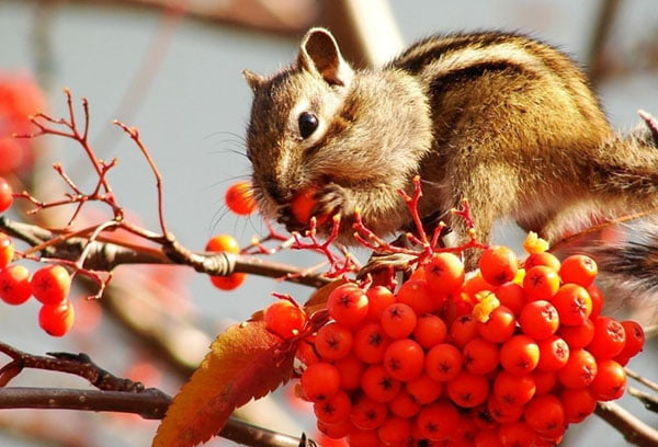 Бурундучок ест ягоды рябины