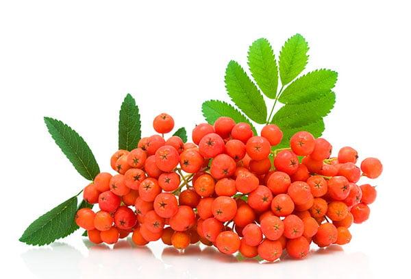 Свежие ягоды рябины
