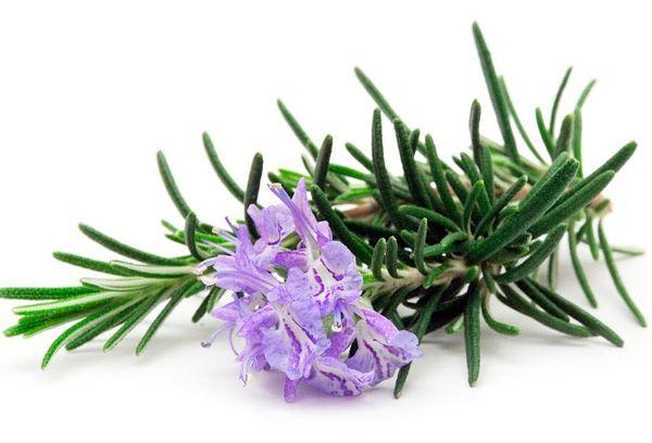 зеленые ветки розмарина с цветком