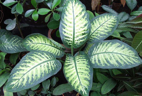 Ядовитое растение