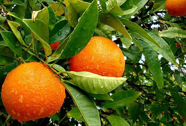 Апельсины на ветке