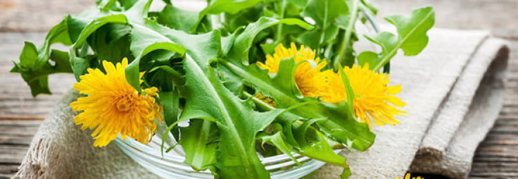 Одуванчик: полезные свойства, противопоказания и рецепты блюд из «сорняка»