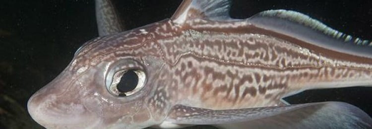 Морской заяц рыба