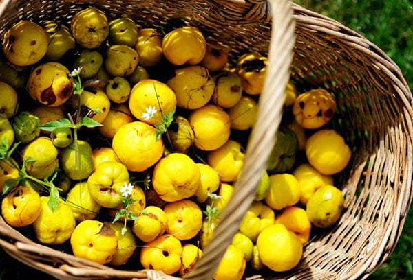 Плоды айвы в корзине