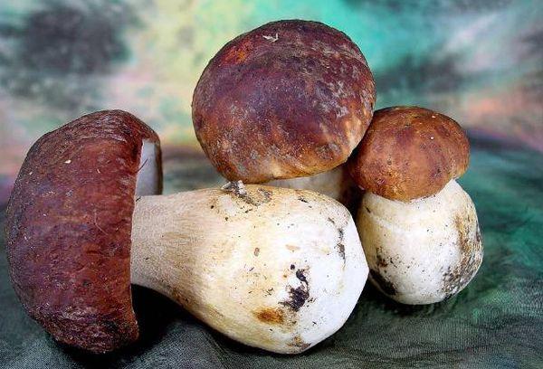 Большие белые грибы