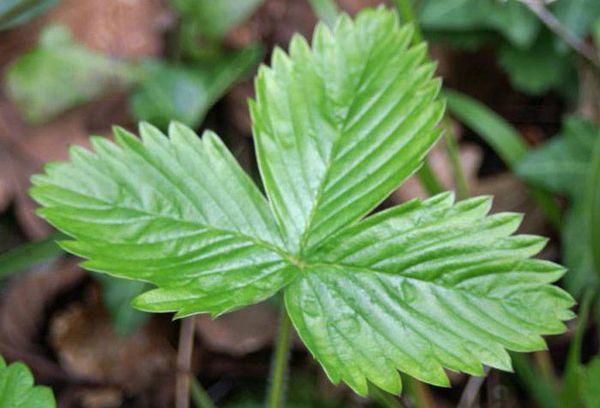 Свежий листок земляники