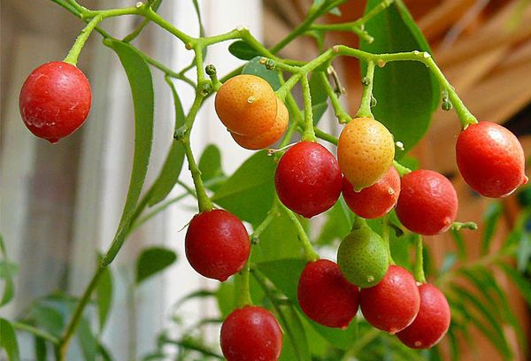 Плоды мурайи