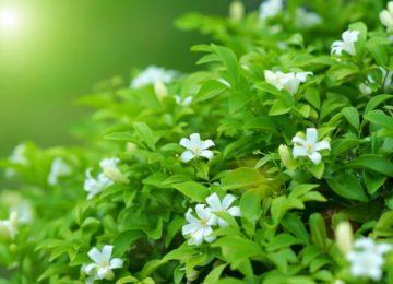 цветки мурайи