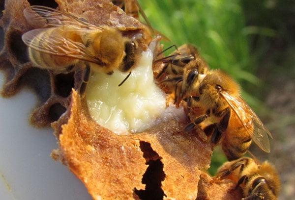 Пчелы и маточное молочко