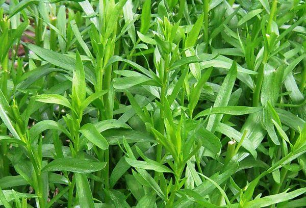 Растение тархун