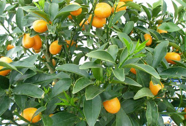 дерево с плодами кумквата