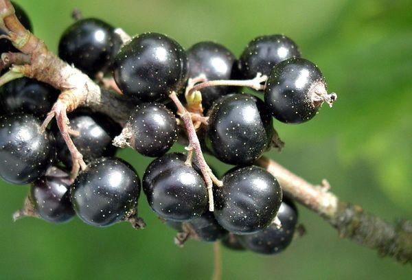 плоды смородины на ветке