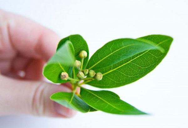 Молодые листья лавра