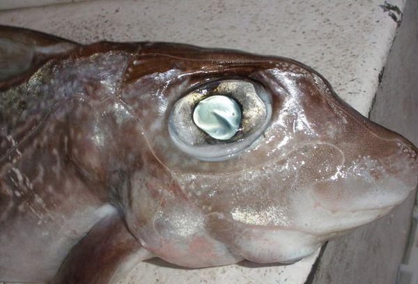 рыба морской заяц