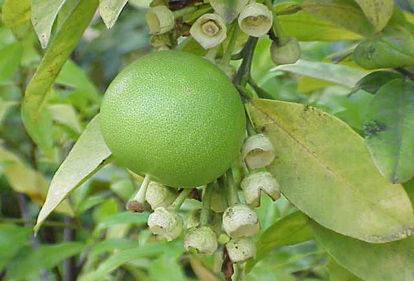 плод памело неспелый