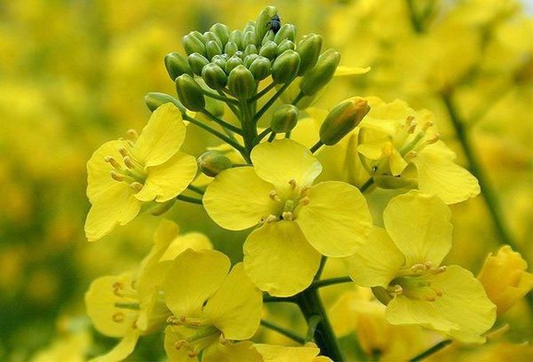 цветки рапса