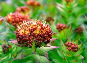 цветок Радиолы
