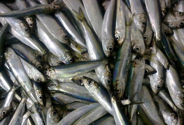 свежая рыба салака