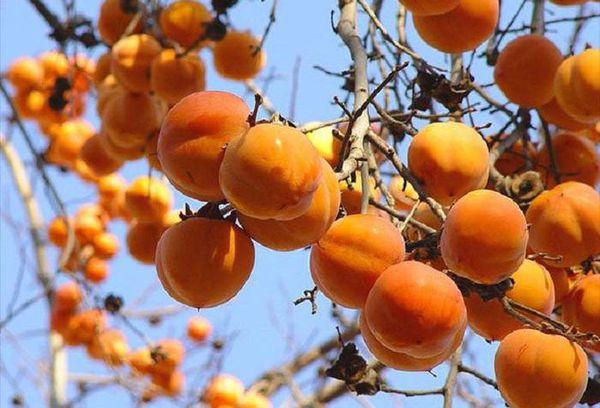 дерево плоды хурмы