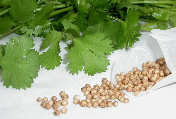 Семена кориандра и зелень кинзы