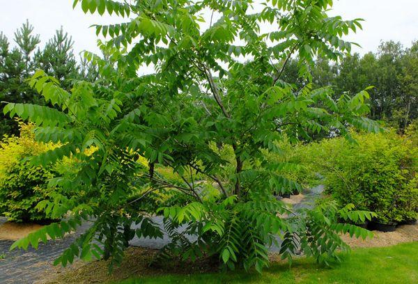 дерево маньчжурского ореха