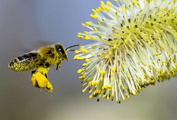Пчела собирает пыльцу с цветка