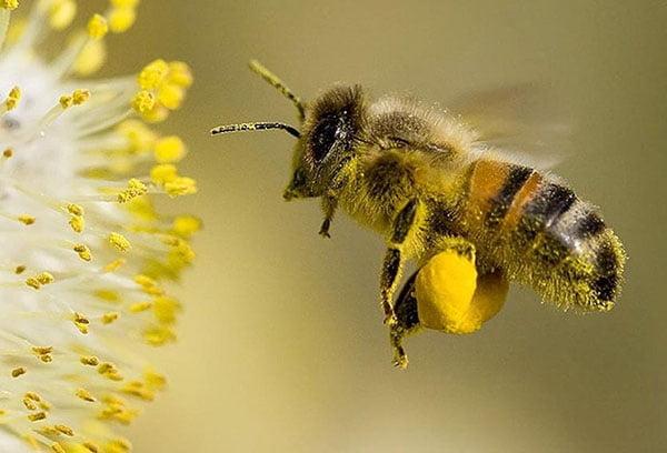 Пчела у цветка с пыльцой