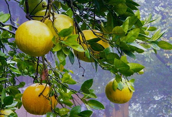 Плоды помело на дереве