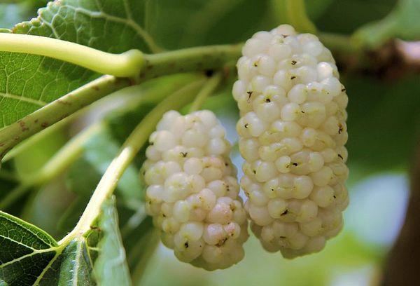 белая шелковица