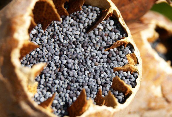семена мака