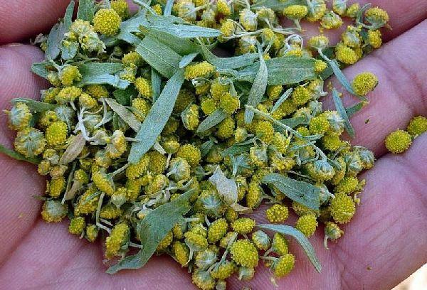 желтые цветки полыни