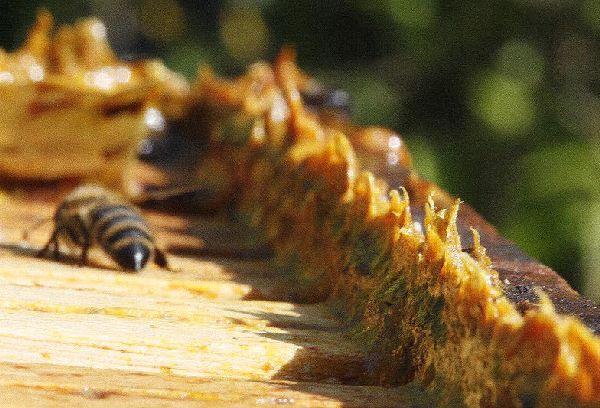 прополис ан пчелином улье