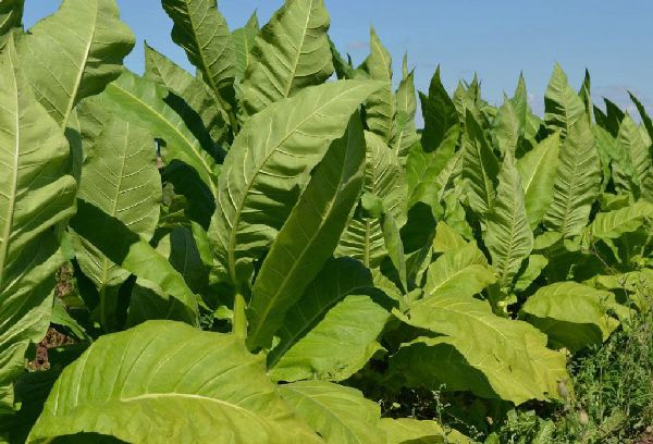 листья табака