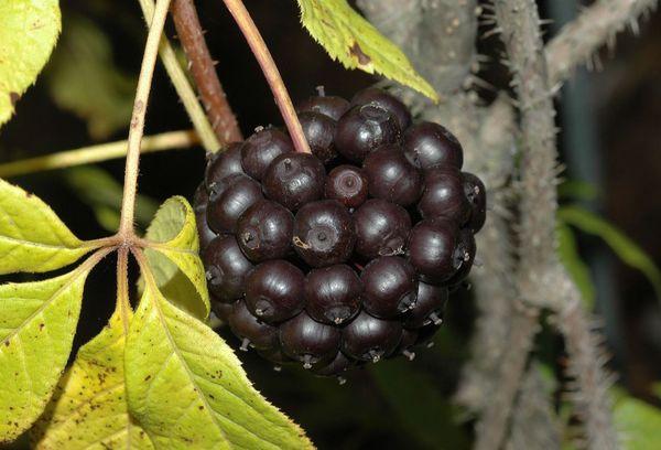 Чёрный шарик плодов дикого перца