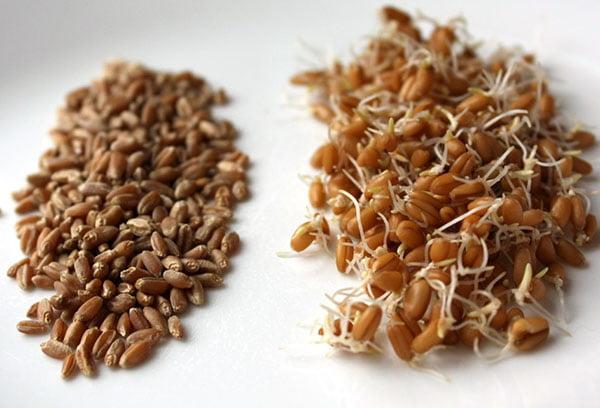 Сухие и пророщенные зерна пшеницы
