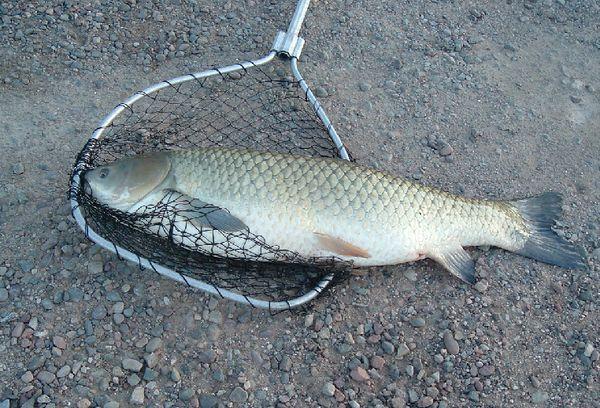 Рыба амур